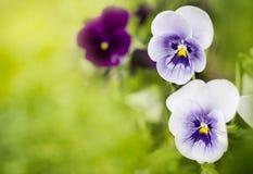 Flores violetas en sol Imagenes de archivo