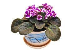 Flores violetas en un crisol Imagenes de archivo