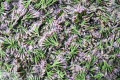Flores violetas en un fondo ligero Fotografía de archivo