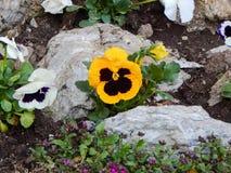 Flores violetas en un pequeño jardín Fotografía de archivo libre de regalías