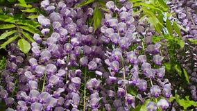Flores violetas florecientes maravillosas de la glicinia
