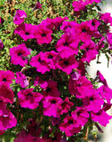 Flores violetas hermosas Imagen de archivo libre de regalías