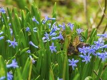 Flores violetas hermosas en un jardín de la primavera fotos de archivo