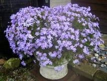 Flores violetas Ideas del jardín Fotografía de archivo libre de regalías