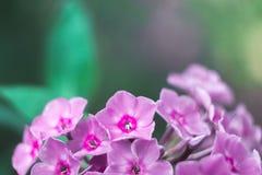 Flores violetas macras con el fondo borroso en un día soleado Fotografía de archivo libre de regalías