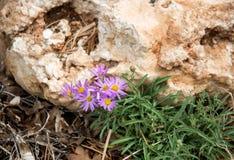 Flores violetas macro Imagem de Stock