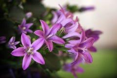Flores violetas minúsculas imagen de archivo