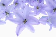 Flores violetas no branco Foto de Stock Royalty Free