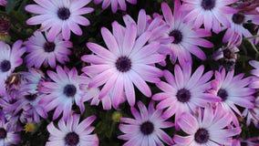 Flores violetas no fim do inverno fotos de stock royalty free