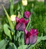 Flores violetas oscuros del detalle de los tulipanes Fotografía de archivo