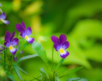Flores violetas púrpuras Imagen de archivo