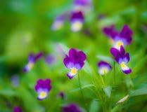 Flores violetas púrpuras Imagenes de archivo