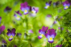 Flores violetas púrpuras Foto de archivo libre de regalías