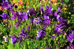 Flores violetas púrpuras Fotos de archivo