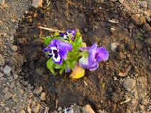 Flores violetas púrpuras en un jardín Fotografía de archivo libre de regalías