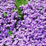 Flores violetas pequenas com trevos da três-folha Fotografia de Stock Royalty Free