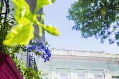 Flores violetas pequenas da alfazema em um jardim da janela entre barras de ferro imagem de stock