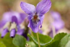 Flores violetas que florescem na mola Imagens de Stock
