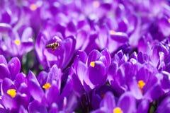 Flores violetas rosadas florecientes de las azafranes y abeja que vuela en fondo borroso suave Escena de la naturaleza del día so Fotografía de archivo