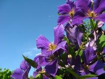 Flores violetas salvajes Fotos de archivo libres de regalías