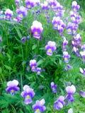 Flores violetas salvajes Foto de archivo libre de regalías