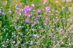 Flores violetas, salvajes con luz del sol Cierre para arriba Foto de archivo