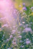 Flores violetas, salvajes con luz del sol Cierre para arriba Foto de archivo libre de regalías