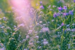 Flores violetas, salvajes con luz del sol Cierre para arriba Fotos de archivo libres de regalías