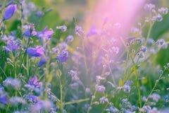 Flores violetas, salvajes con luz del sol Cierre para arriba Fotografía de archivo