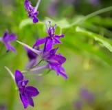 Flores violetas selvagens do Consolida Regalis Fotografia de Stock Royalty Free