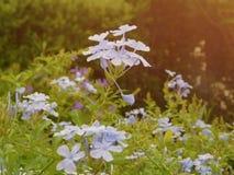 Flores violetas teniendo en cuenta puesta del sol imagen de archivo