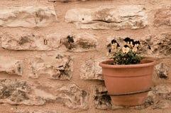 Flores violetas y amarillas en una ejecución del pote de arcilla en la pared de ladrillo Imágenes de archivo libres de regalías