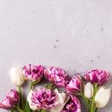 Flores violetas y blancas brillantes de los tulipanes Fotos de archivo libres de regalías