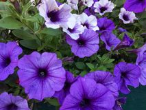 Flores violetas y blancas de la petunia en verano fotografía de archivo