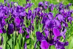 flores violetas y verde imagen de archivo libre de regalías