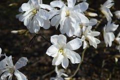 flores vistosos, brancas da magnólia imagem de stock royalty free