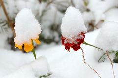 Flores vivas en la primera nieve del invierno. Imagen de archivo