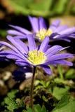 Flores - Windflower colorido pervinca fotos de stock royalty free