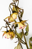 Flores Withered imagens de stock