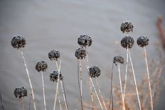 Flores Withered no inverno imagens de stock