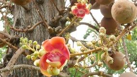 Flores y árbol exóticos Naranja hermosa floreciente del árbol del salalanga tropical verde potente grande peligroso del obús almacen de metraje de vídeo