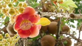 Flores y árbol exóticos Naranja hermosa floreciente del árbol del salalanga tropical verde potente grande peligroso del obús almacen de video
