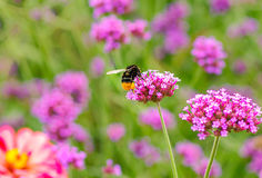Flores y abeja Imagen de archivo