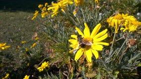 Flores y abeja amarillas almacen de metraje de vídeo