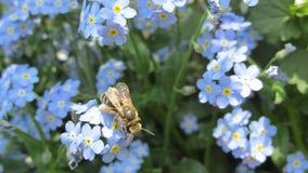 Flores y abeja azules de la primavera Imagen de archivo