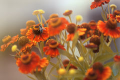 Flores y abeja bonitas Fotografía de archivo libre de regalías