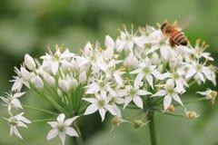 Flores y abeja chinas de la cebolleta Fotos de archivo libres de regalías