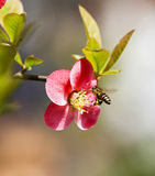 Flores y abeja de Crabapple Imagen de archivo