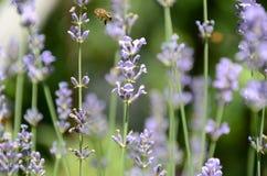 Flores y abeja de la lavanda Imagenes de archivo