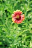 Flores y abeja de la margarita Imágenes de archivo libres de regalías